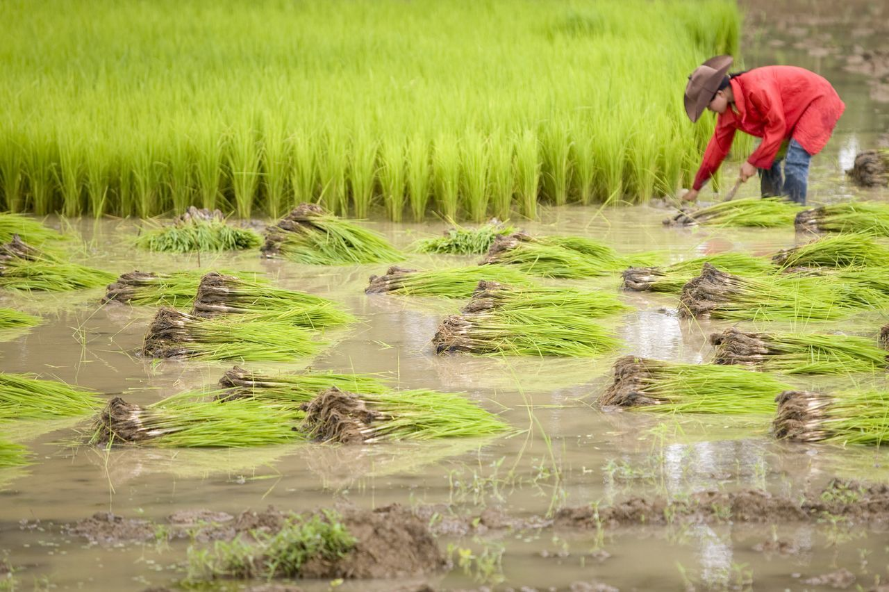 working rice fields in Laos