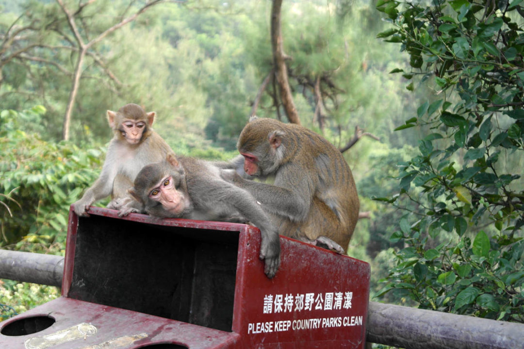 macaques sit on a garbage bin in kam shan country park